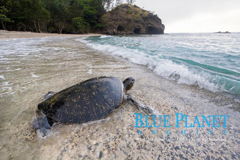 green sea turtle, Chelonia mydas, Chichi-jima, Bonin Islands, Ogasawara Islands, UNESCO World Heritage Site,  Tokyo, Japan, Pacific Ocean
