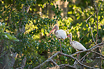 Damon, Texas; a pair of juvenile white ibis resting on a tree branch above the surface of the slough in late afternoon dappled light