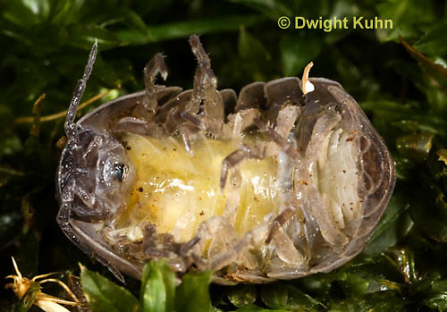 1Y33-521z  Pillbug or Roly Poly showing yellow eggs in protective pouch on her underside, Armadillidum vulgare