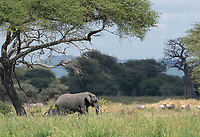 African Elephant, Loxodonta africana, walks among a mixed herd of zebras and wildebeest in Tarangire National Park, Tanzania