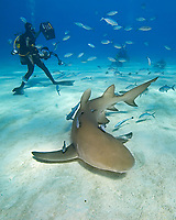 Lemon Sharks, Negaprion brevirostris, and scuba divers, West End, Grand Bahama, Bahamas, Caribbean, Atlantic Ocean