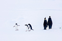 Adult Emperor Penguin pair (Aptenodytes forsteri) resting on ice floe with three Adellie penguins, Pygoscelis adeliae, nearby below the Antarctic circle on the western side of the Antarctic Peninsula. These are individuals that have hauled out, possibly to rest from foraging.