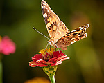 Painted Lady Butterfly. Image taken with a Nikon 1 V3 camera and 70-300 mm VR lens.