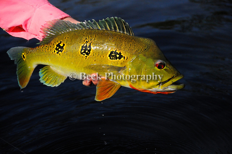 Peacock Bass on the fly