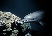 Bottlenose Dolphin, Tursiops truncatus, playing with Reef Octopus, Cyanea sp., on sandy bottom.