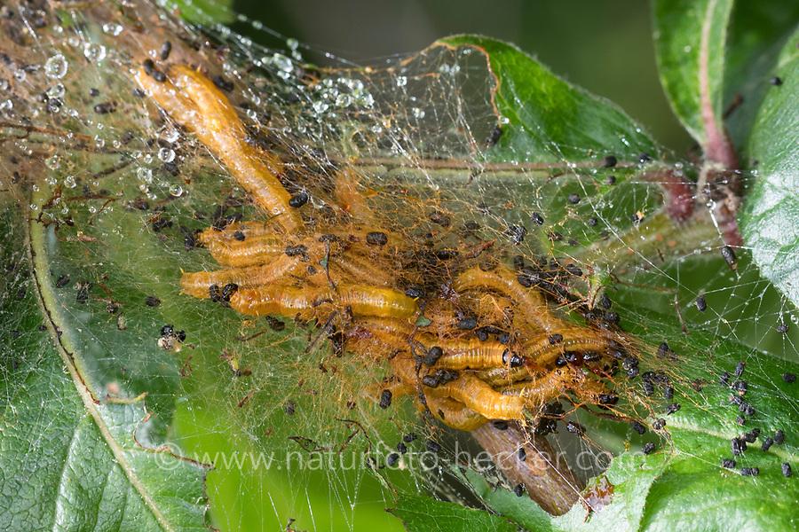 Birnen-Gespinstblattwespe, Gelbe Birnengespinstblattwespe, Larve, Larven fressen an Mispel, Gespinst, Kotsackgespinstwespe, Kotsack-Blattwespe, Gespinstblattwespe, Neurotoma saltuum, Neurotoma flaviventris, Neurotoma fasciata, Social Pear Sawfly, larva, larvae, Kotsackgespinstwespen, Kotsack-Gespinstwespen, Kotsack-Blattwespen, Kotsackblattwespen, Gespinstblattwespen, Gespinst-Blattwespen, Pamphiliidae