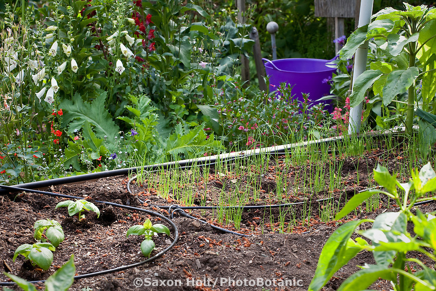 Vegetables starting in organic raised bed with drip irrigation; MUST CREDIT: Elvin Bishop Garden