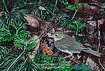 Ovenbird, Seiurus aurocapillus, feeding young at nest