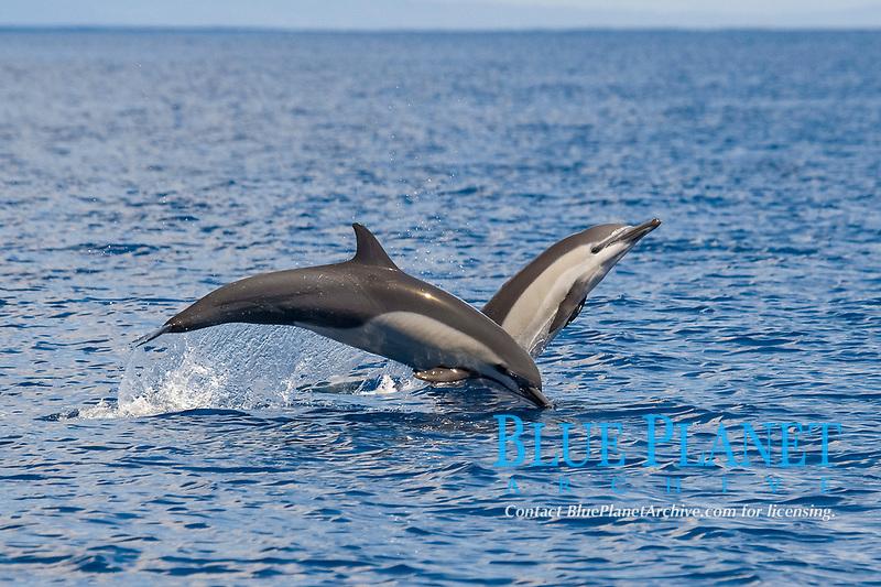 short-beaked common dolphin, Delphinus delphis, porpoising, jumping, Costa Rica, Pacific Ocean