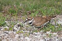 Killdeer (Charadrius vociferus), adult on nest with eggs, Sinton, Corpus Christi, Coastal Bend, Texas, USA