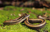 Black-Striped Snake, Coniophanes imperialis, adult on moss, The Inn at Chachalaca Bend, Cameron County, Rio Grande Valley, Texas, USA