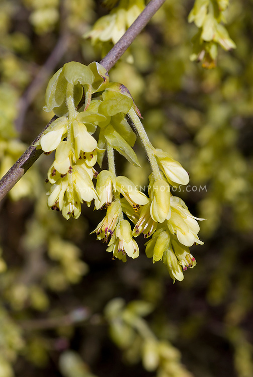 Corylopsis spicata in spring bloom
