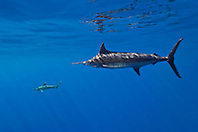 free-swimming Pacific blue marlin, (Pantropical blue marlin, Makaira nigricans, or Indo-Pacific blue marlin, Makaira mazara - still debating), and oceanic whitetip shark, Carcharhinus longimanus, Kona Coast, Big Island, Hawaii, USA, Pacific Ocean