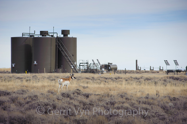 Pronghorn (Antilocapra americana) confronts a natural gas installation on BLM lands near Pinedale. Sublette County, Wyoming. March.