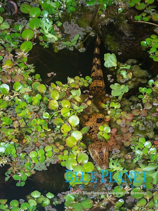 A young spectacled caiman, Caiman crocodilus, at night on Rio El Dorado, Ucayali River, Amazon Basin, Loreto, Peru