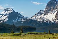 Grizzly Bear (Ursus arctos) near Bow Lake, Banff National Park, Alberta Canada.  June.
