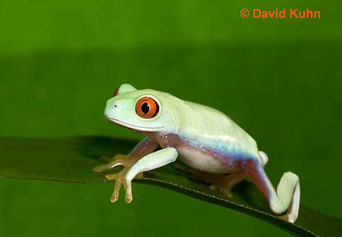 0306-0903  Red-eyed Tree Froglet (Young Frog), Agalychnis callidryas  © David Kuhn/Dwight Kuhn Photography.