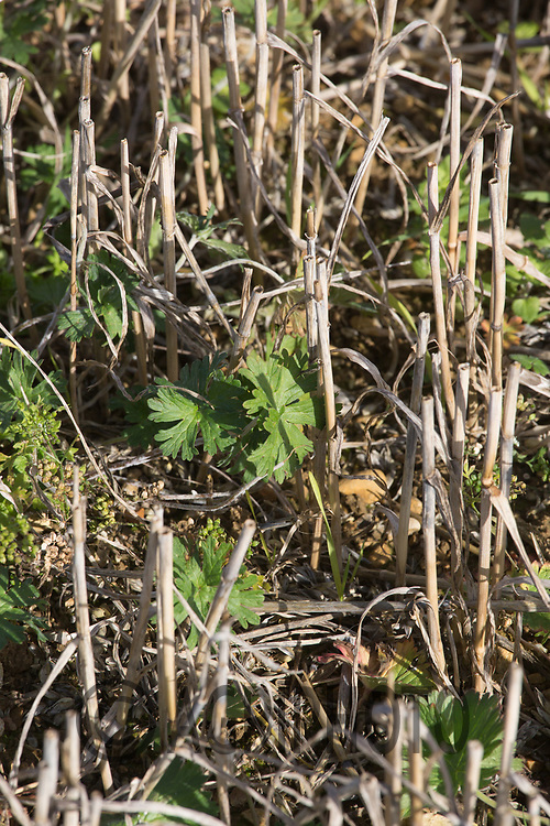 Cleavers growing in Wheat stubble <br /> Picture Tim Scrivener 07850 303986<br /> ….covering agriculture in the UK….