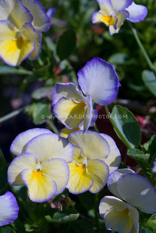 Viola Etain, violets in bloom in spring