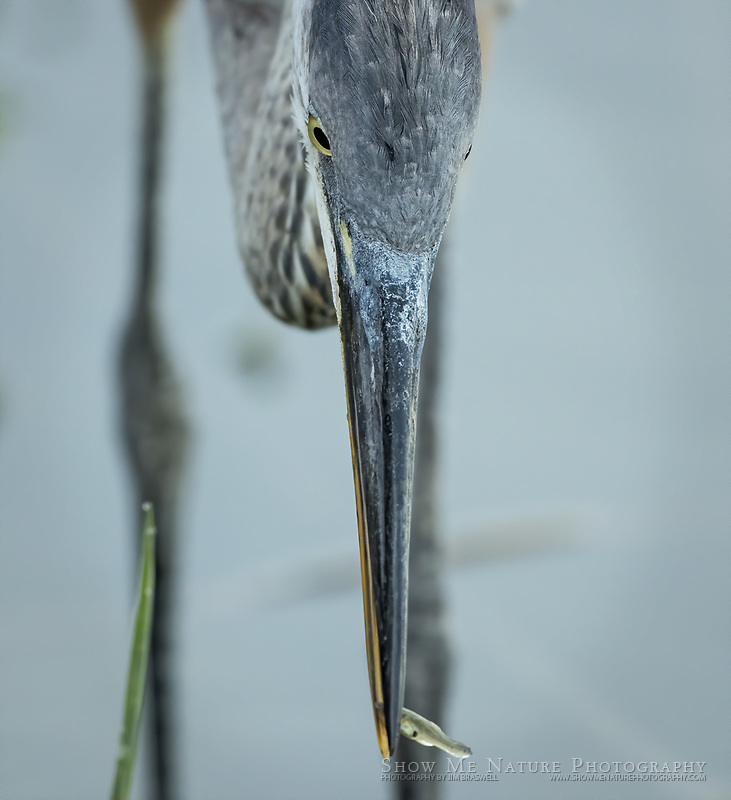 Juvenile Great Blue Heron with fish