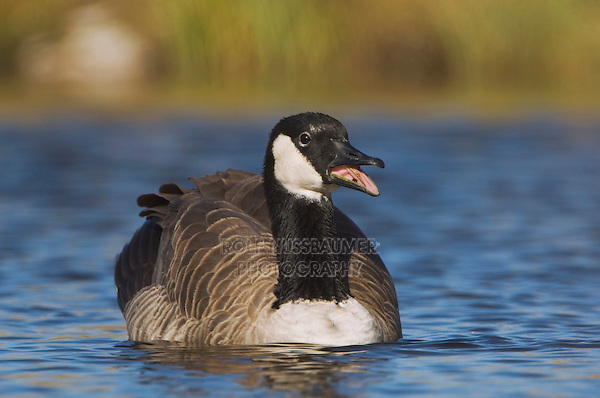 Canada Goose, Branta canadensis, adult calling, National Elk Refuge, Wyoming, USA