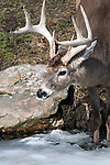whitetail deer buck, front hooves in ice covered pond, vertical