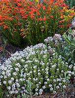 Aethionema caespitosum, Turkish Stonecress flowering in David Salman New Mexico garden
