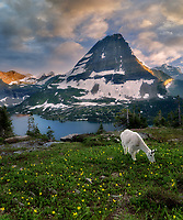 Goat grazing in avalanche lilly field. Overlook at Glacier National Park, Montana