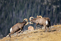 Bighorn Rams fighting, Rocky Mountain National Park, Colorado