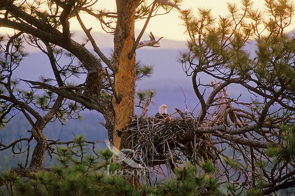 Bald Eagle nest in ponderosa pine tree.