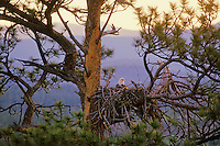 Bald Eagle nest in ponderosa pine tree.