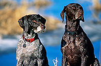 Two German Short Hair dogs.