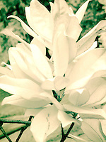 Southern magnolia foliage, full spectrum photography, infrared