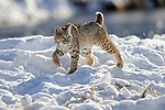 North American Bobcat (Lynx rufus) stalking along the edge of the Madison River. Yellowstone National Park, Wyoming, USA. January