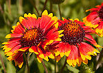 A small fly explores the edges of red and yellow marigolds late in their season, in early summer.