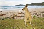 Eastern Grey Kangaroo (Macropus giganteus) sub-adult on beach, Pebbly Beach, Murramarang National Park, New South Wales, Australia