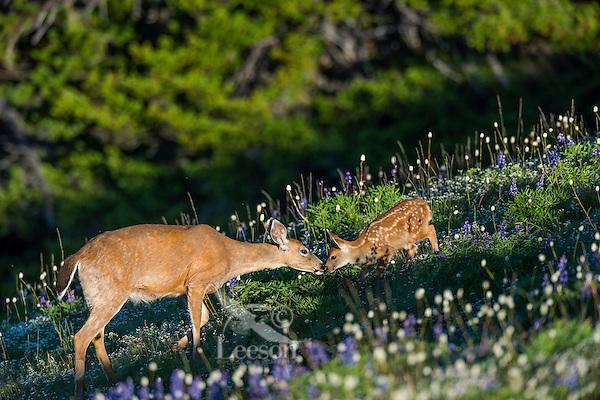 Columbian black-tailed deer (Odocoileus hemionus columbianus) doe greeting her young fawn among wildflowers--lupine and bistort in subalpine meadow.  Pacific Northwest.  Summer.
