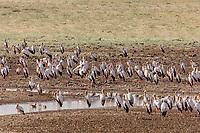 africa, Zambia, South Luangwa National Park,  yellow-billed stork (Mycteria ibis),