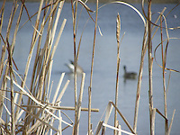 Canada geese through the reeds at Big Lake Alberta.