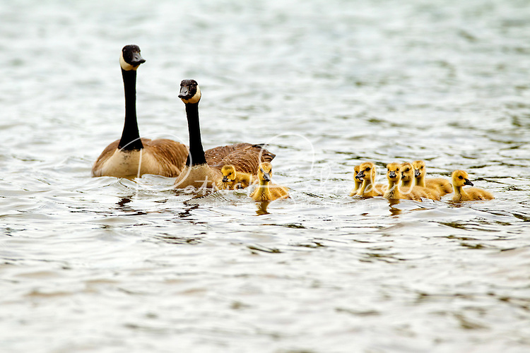 A family of Canadian geese swim on Charlotte's Lake Norman during the annual Charlotte Asian Festival and Dragon Boat Festival Race, held May 5, 2012 on Lake Norman.