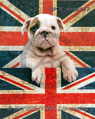 Xavier, ANIMALS, REALISTISCHE TIERE, ANIMALES REALISTICOS, dogs,union jack, photos+++++,SPCHDOGS997,#a#