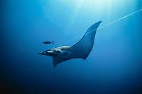 sickle-fin devil ray, Mobula tarapacana, hooked on long line. Cocos Island, Costa Rica - Pacific Ocean