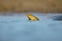 Spiny Softshell (Apalone spinifera), adult swimming, Dinero, Lake Corpus Christi, South Texas, USA