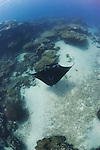 A Manta Ray cruises down a channel, Manta birostris, Goofnuw Channel, Valley of the Rays, Yap, Micronesia, Pacific Ocean