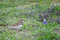 Killdeer in bluebonnet field, Burnet County, TX