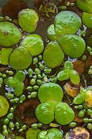 Wurzellose Zwergwasserlinse, Wurzellose Zwerglinse, Zwerg-Wasserlinse, zwischen anderen Wasserlinsen, Wolffia arrhiza, Lemna arrhiza, spotless watermeal, rootless duckweed