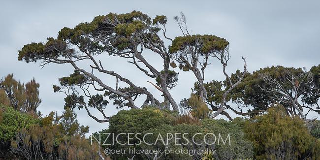 Native Rimu tree in South Westland, West Coast, New Zealand, NZ