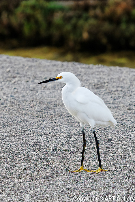 Egret crossing a walk path, Bolsa Chica State Park, CA