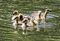 MAY 8 Canada Goslings on the River