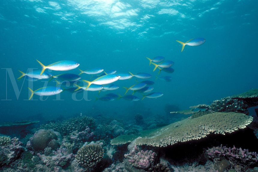 Underwater reef scene - Yellowtail Fusilers school over the corals, tropical fish, marine life. Yellowtail Fusilers. D'arros Island Seychelles Islands Seychelles Western Indian Ocean.
